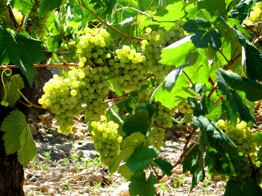 White grapes in Sant Sadurni d'Anoia