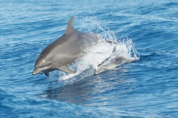 Atlantic bottlenose dolphins off the west coast of Ireland
