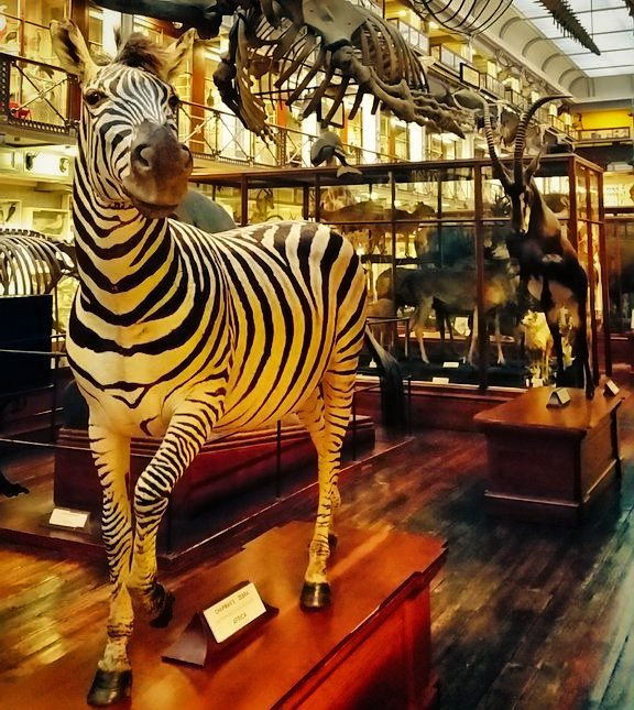 A zebra in the natural history museum, dead zoo, Dublin on a wet day